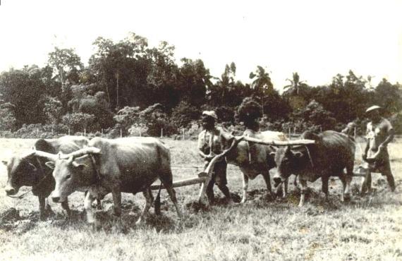Membajak tanah menggunakan lembu
