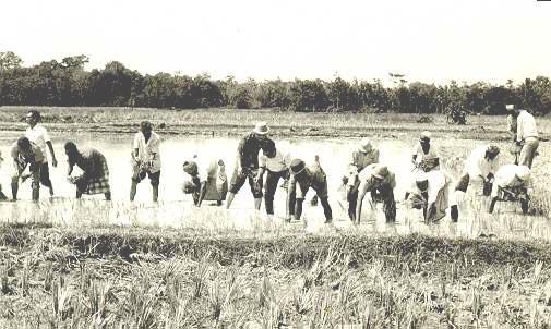 Mencedong padi