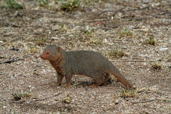 the amazing mongoose f...
